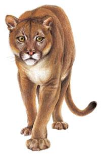 cougarfrt.tif